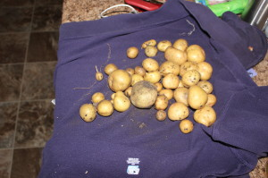 Yield from the potato towers, minus a few